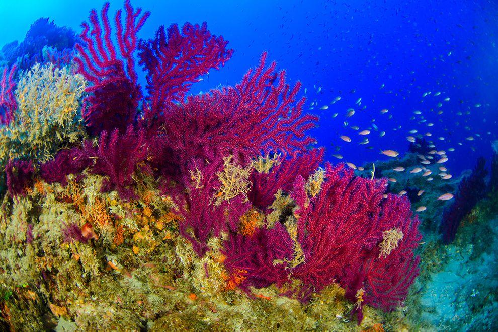 Sicilia: scoperte splendide foreste coralline intorno ai vulcani sottomarini delle Eolie