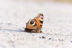 Farfalla 2 19