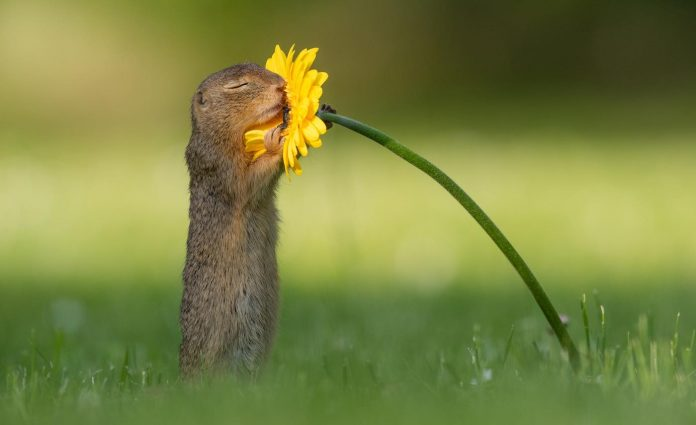 Queste adorabili immagini catturano il momento in cui uno scoiattolo si ferma per annusare alcuni fiori